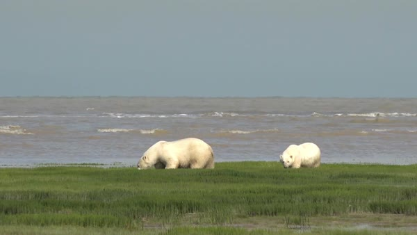 Polar bears look for ice in the arctic circle. Royalty-free stock video