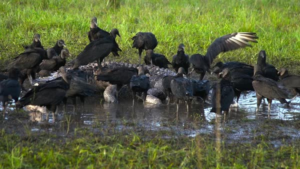 Black vultures prey on an alligator carcass. Royalty-free stock video