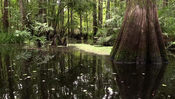 An establishing shot of a cypress swamp in the Everglades, Florida. Royalty-free stock video