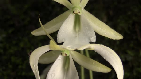 A ghost orchid grows in the Everglades in Florida. Royalty-free stock video