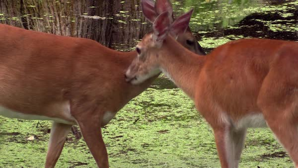 White tailed deer grooming each other. Royalty-free stock video