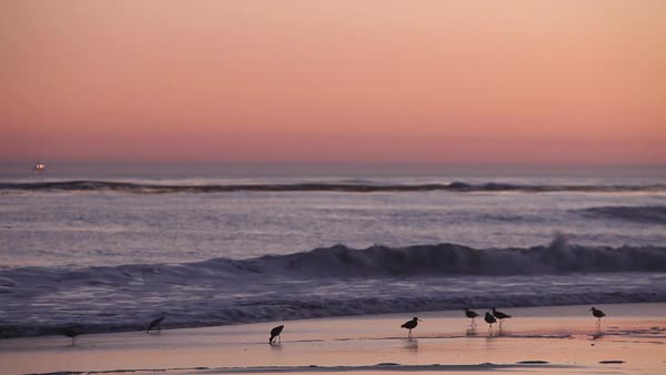 Birds gather on the beach at sunset. Royalty-free stock video