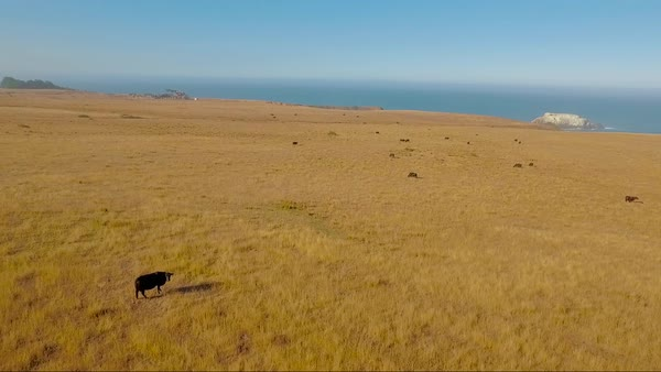 Cattle graze on the coastline of Big Sur in Central California. Royalty-free stock video