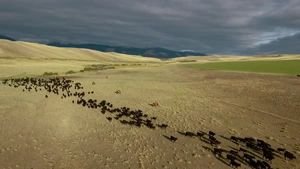 Amazing aerial over a western cattle drive on the plains of Montana. Royalty-free stock video