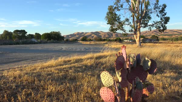 Cactus grows in the field of Central California. Royalty-free stock video