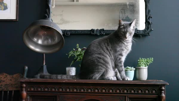 Medium shot of a cat sitting on antique furniture Royalty-free stock video