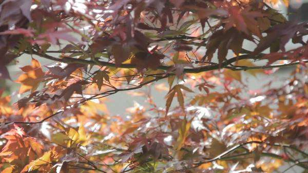 Static shot and close up of sunlit autumnal leaves Royalty-free stock video