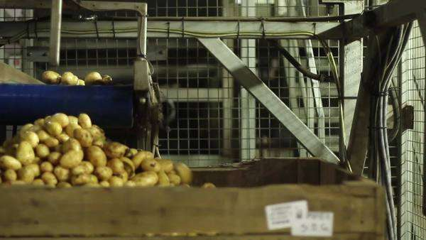 Potatoes coming off an automated conveyor belt into a large container Royalty-free stock video