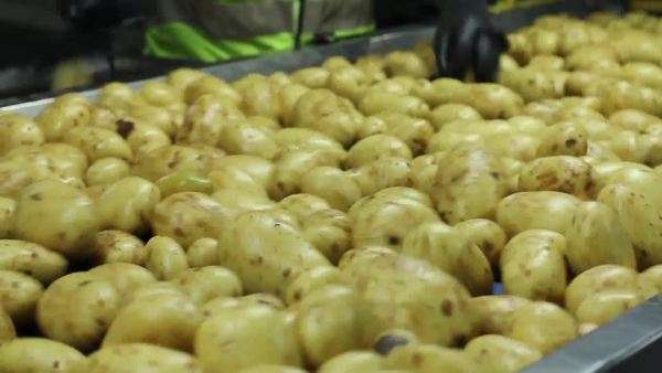Potatoes being selected by factory workers on conveyor belt Royalty-free stock video