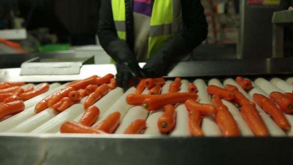 Sorting carrots on a conveyor belt Royalty-free stock video