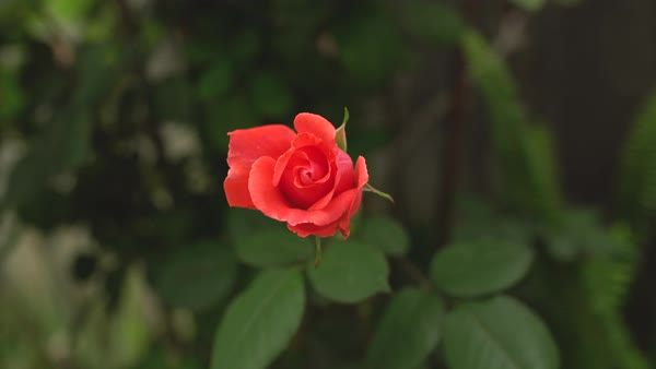 Top view of a red rose swaying in breeze Royalty-free stock video