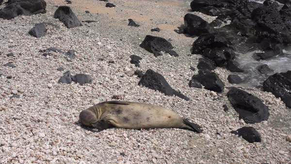 Hand-held shot of a seal lying on a beach Royalty-free stock video
