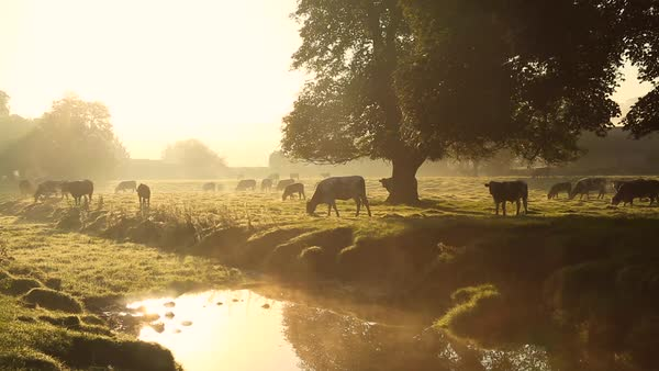 Cows in misty field, early morning, Usk Valley, nr Usk, South Wales Royalty-free stock video