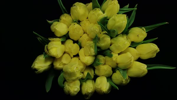 Medium wide close up high angle overhead time lapse shot of yellow tulips growing in a vase, yet none come into bloom, none stand out or reach their full potential and all end up shriveling and dying in the bunch against a black background. Royalty-free stock video