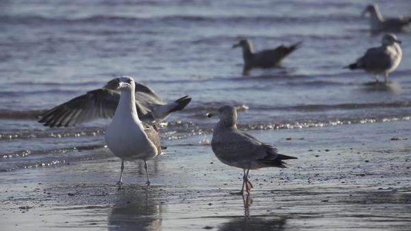Sea gulls fly in slow motion on beach Royalty-free stock video