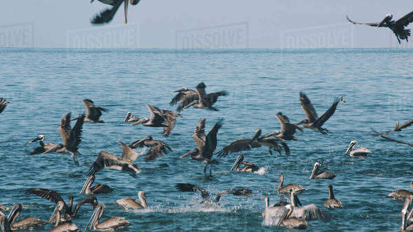 Pelicans diving for fish Royalty-free stock photo