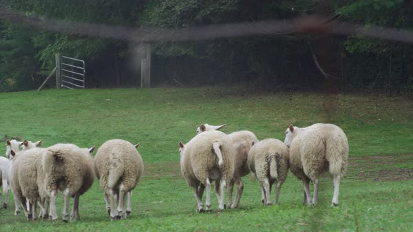 Herds of sheep walking on grassy landscape Royalty-free stock video