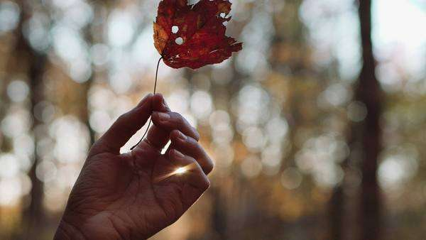 Close-up shot of a  hand holding a fallen leaf Royalty-free stock video