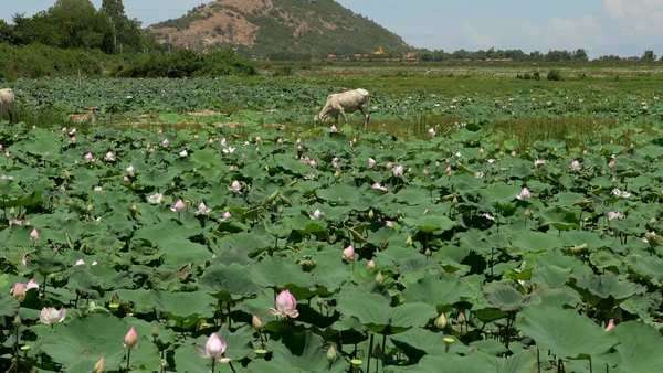 Scenic lotus flower farm in Cambodia with livestock, zoom shot Royalty-free stock video