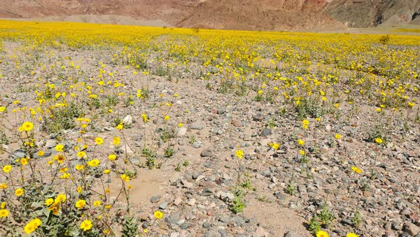 Flowers in death valley stock video footage dissolve slow pan up of death valley desert flowers in super bloom spring royalty free mightylinksfo