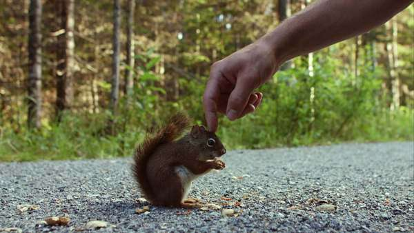 Someone touching a wild squirrel eating peanuts in nature Royalty-free stock video