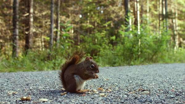 Close-up of a squirrel eating peanuts on the ground Royalty-free stock video