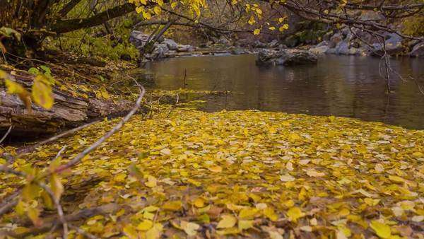 Mountain stream with yellow leaves that have fallen into the water.  Focus pull up Royalty-free stock video