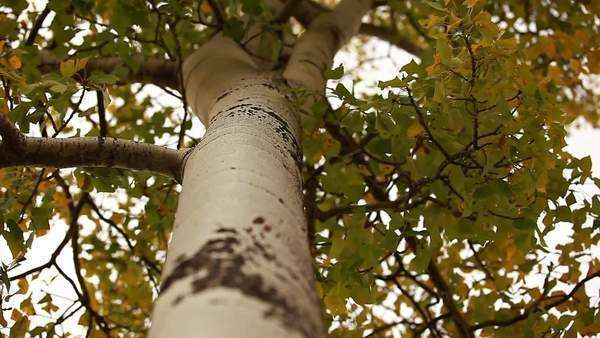 Low angle shot of white tree bark Royalty-free stock video