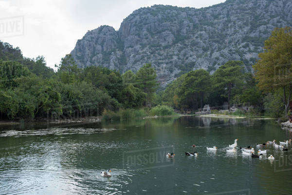 Ducks swimming in a pond in Antalya, Turkey Royalty-free stock photo