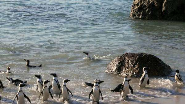 African penguins early morning swim at Boulders Beach, Cape Town Royalty-free stock video