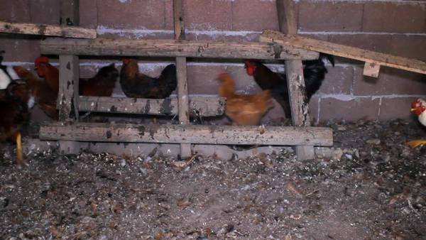 Poultry chicken inside farm Royalty-free stock video