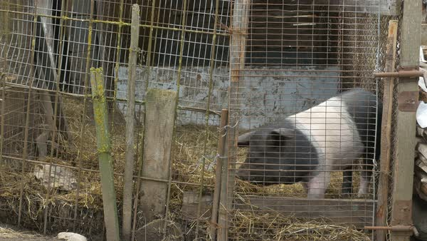 A pig in a coop at an ecological individual farm place, on countryside. Royalty-free stock video
