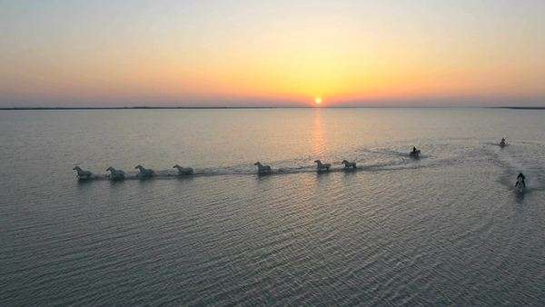 Aerial shot of horses running in coastal waters in Camargue, France Royalty-free stock video