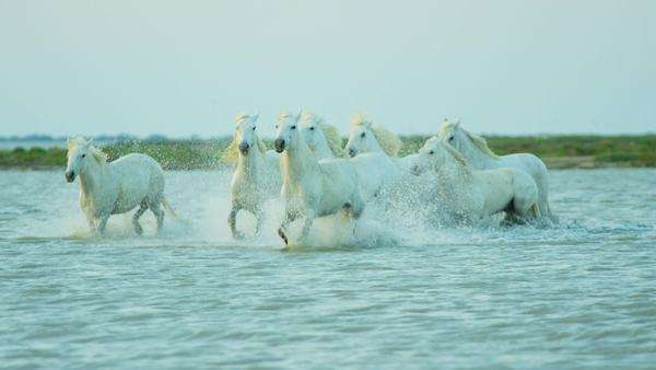 Horses being herded through marshland during the day Royalty-free stock video