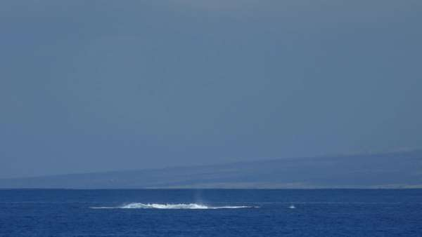 Huge humpback whale breaching with Kohala coast in the background. Royalty-free stock video