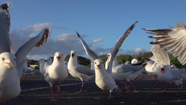 SLOW MOTION CLOSE UP: A big group of cute, curious seagulls standing on hot asphalt on empty parking lot, following with interest the camera and communicating with each other Royalty-free stock video