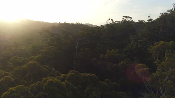 AERIAL CLOSE UP, MOVING UP: Flying above eucalyptus tree canopies in magical misty jungle forest in sunny Australia at golden sunrise. Stunning eucalyptus forest shrouded in mysterious mist. Royalty-free stock video