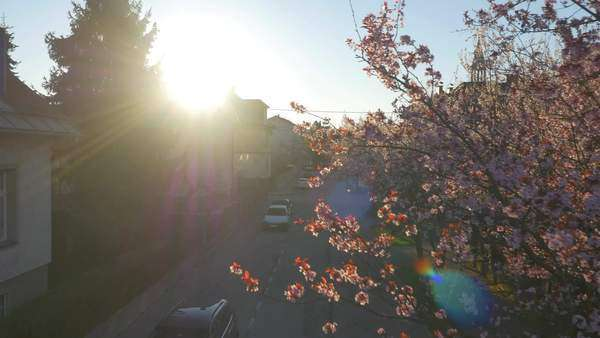 Aerial: Cherry trees blooming in sunny suburbia in spring Royalty-free stock video