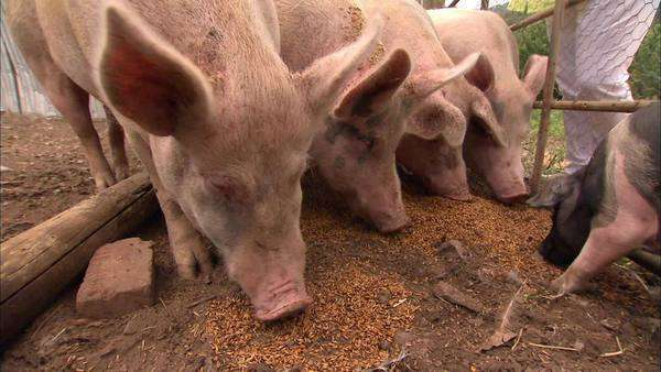 Handheld medium long shot of pigs eating Rights-managed stock video