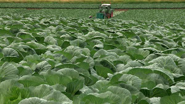 Wide shot of farmers cutting pointed cabbages Rights-managed stock video