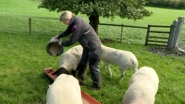 Medium shot of farmer feeding sheep Rights-managed stock video