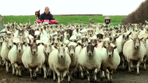 Wide shot of women herding sheep on a farm Rights-managed stock video