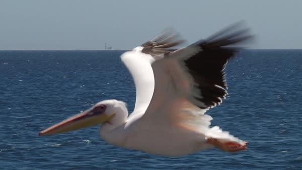 Wide shot of a pelican flying above an African bay Rights-managed stock video