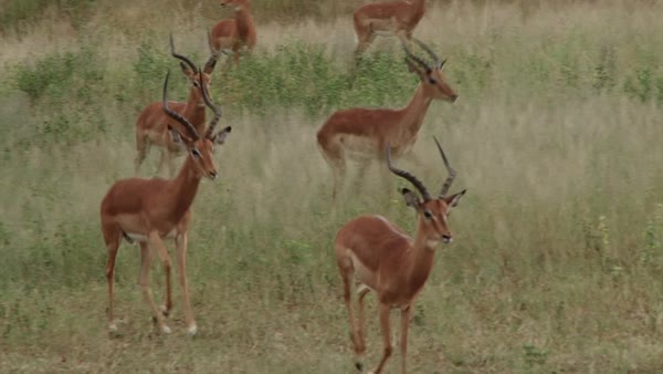Wide shot of antelopes running in a field in Africa Rights-managed stock video