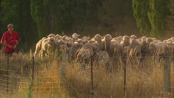 Wide shot of a man herding a sheep flock Rights-managed stock video