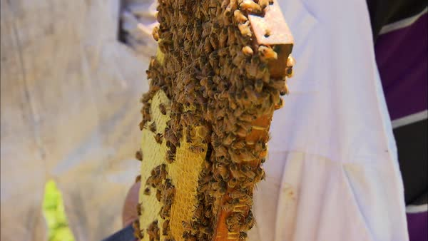 Close up shot of person holding a frame swarming with bees Rights-managed stock video