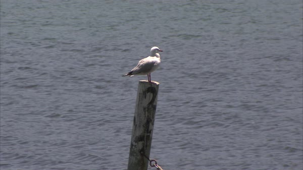 Wide shot of a seagull preening on a pole Rights-managed stock video