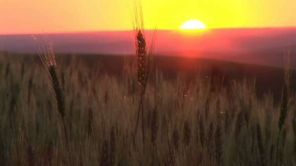 Stalks of wheat rippling in the wind at sunset, Palouse, Washington Royalty-free stock video