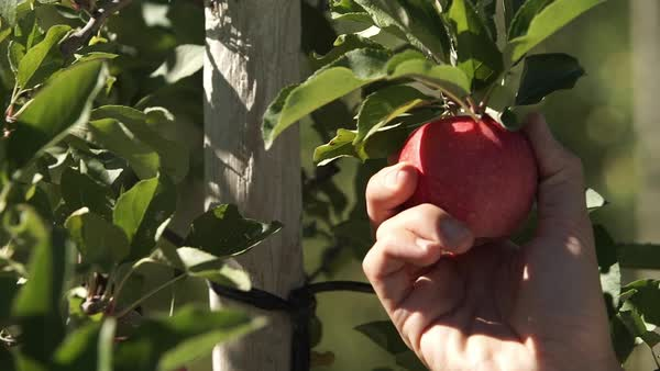 Close-up shot of a man picking apple from tree Royalty-free stock video