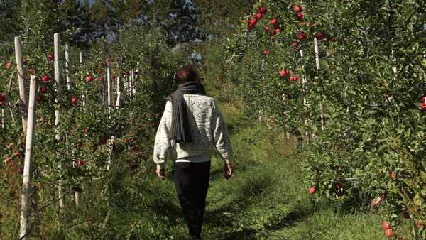 Wide shot of a man walking in orchard Royalty-free stock video